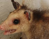 Cet animal est: